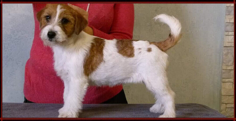 Angie - Jack Russell Terrier - Centro Cinofilo La Tana dei Lupi