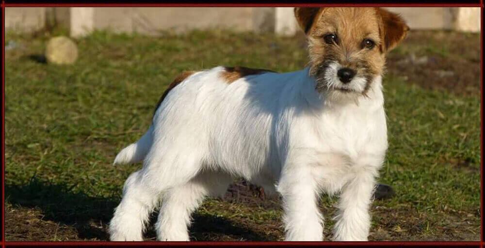Cassy - Jack Russell Terrier - Centro Cinofilo La Tana dei Lupi
