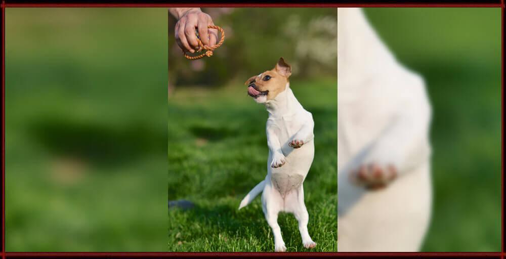 Cica - Jack Russell Terrier - Centro Cinofilo La Tana dei Lupi