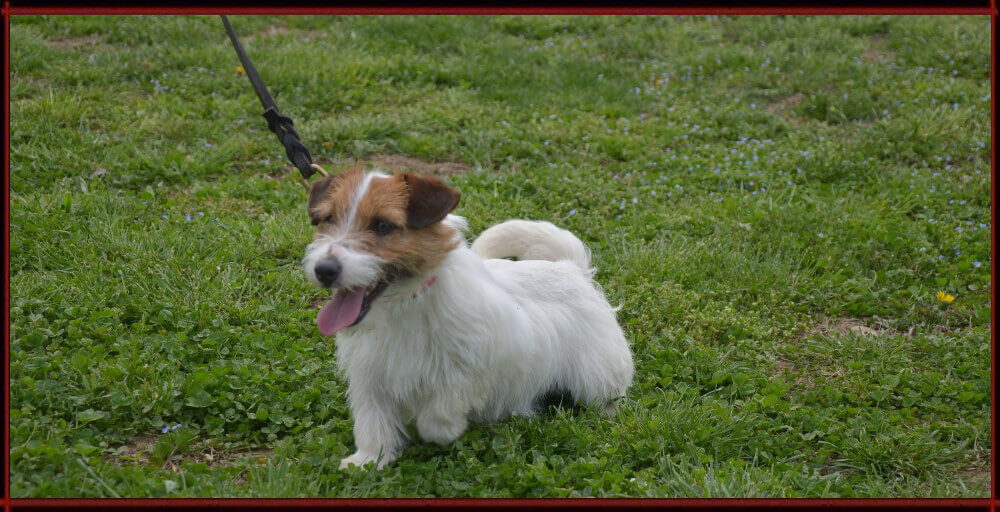 Noah - Jack Russell Terrier - Centro Cinofilo La Tana dei Lupi