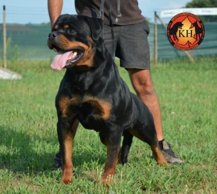 Rottweiler-Allevamento-Torino-Rottweiler-AUS-DER-KRUMMHOLZ-Piemonte-5-447×400