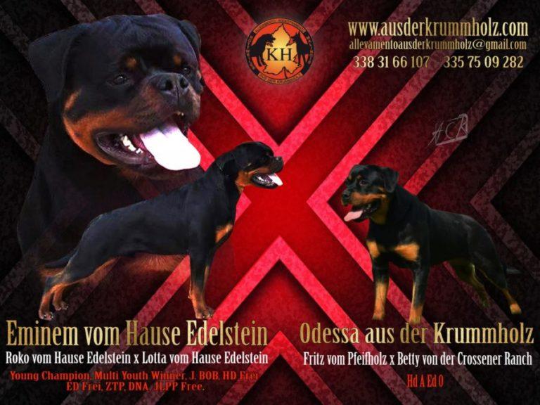 MIGLIORE-ALLEVAMENTO-ROTTWEILER-PIEMONTE-Rottweiler-aus-der-Krummholz