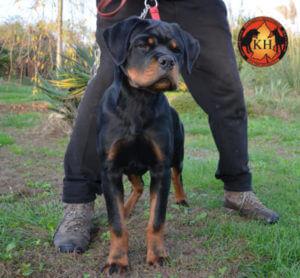 ROTTWEILER CUCCIOLI VENDITA PIEMONTE|Disponibile Cucciolo Rottweiler