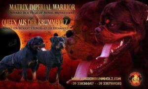 ROTTWEILER CUCCIOLI AUS DER KRUMMHOLZ|Cuccioli Disponibili Allevamento Rottweiler Piemonte