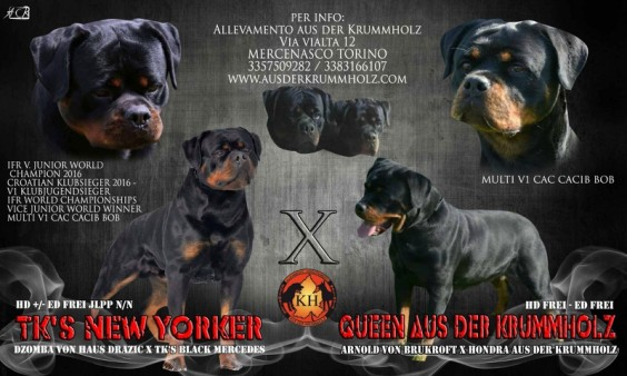 ROTTWEILER-VENDITA-CUCCIOLI-TAGLIA-GRANDE-PURA-RAZZA-Rottweiler-Allevamento-Torino-Piemonte-51-564×338